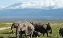 Elephants at Amboseli with Kilimanjaro on background, spot them on a group safari!