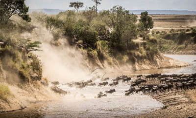 Kenya group safari, wildebeest river crosing during the great migration