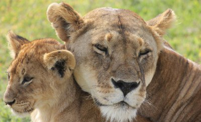 Our private safaris give you a good possibility to spot lions in the wild!