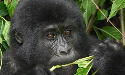 Gorilla tracking Uganda & Rwanda while on a group safari