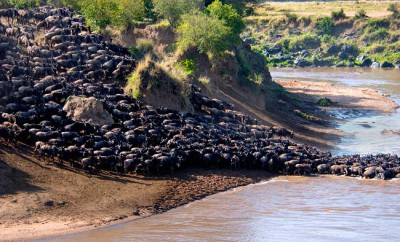 Masai mara river crossing of wildebeest, see the mighty migration during a private safari to Kenya or Tanzania